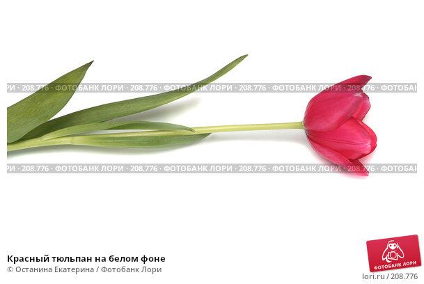 Красный тюльпан на белом фоне, фото № 208776, снято 17 января 2008 г. (c) Останина Екатерина / Фотобанк Лори