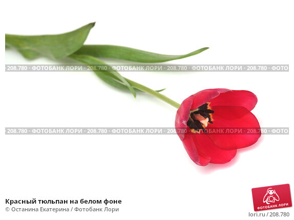 Красный тюльпан на белом фоне, фото № 208780, снято 17 января 2008 г. (c) Останина Екатерина / Фотобанк Лори