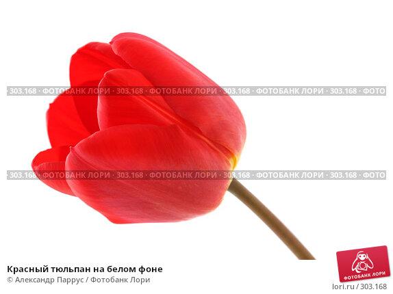 Красный тюльпан на белом фоне, фото № 303168, снято 21 апреля 2008 г. (c) Александр Паррус / Фотобанк Лори