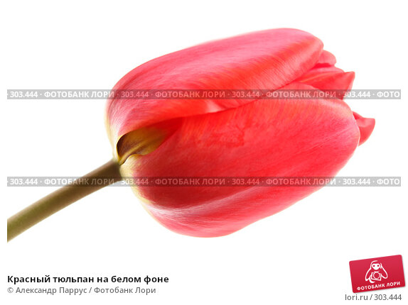 Красный тюльпан на белом фоне, фото № 303444, снято 21 апреля 2008 г. (c) Александр Паррус / Фотобанк Лори
