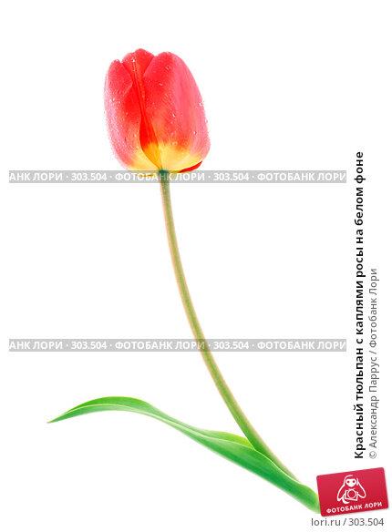 Красный тюльпан с каплями росы на белом фоне, фото № 303504, снято 21 апреля 2008 г. (c) Александр Паррус / Фотобанк Лори