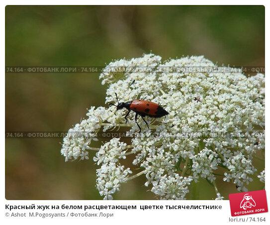 Красный жук на белом расцветающем  цветке тысячелистнике, фото № 74164, снято 7 июля 2007 г. (c) Ashot  M.Pogosyants / Фотобанк Лори