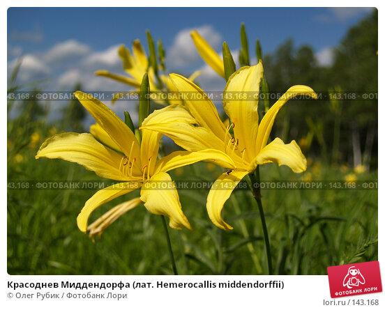 Красоднев Миддендорфа (лат. Hemerocallis middendorffii), фото № 143168, снято 22 июня 2007 г. (c) Олег Рубик / Фотобанк Лори