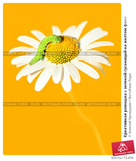 Купить «Креативная ромашка с зеленой гусеницей на желтом фоне», фото № 13416, снято 19 августа 2006 г. (c) Алексей Хромушин / Фотобанк Лори
