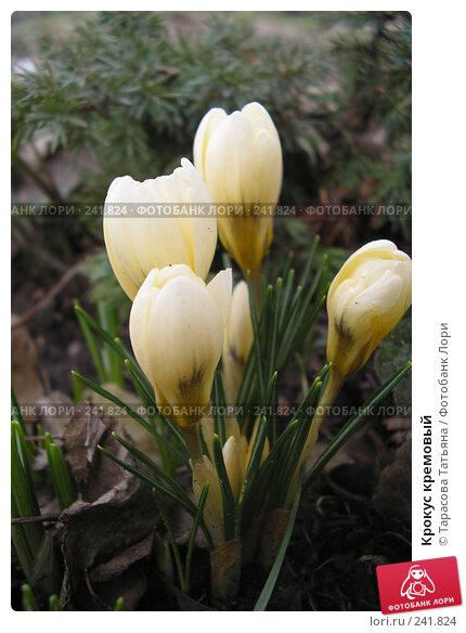 Крокус кремовый, фото № 241824, снято 21 марта 2008 г. (c) Тарасова Татьяна / Фотобанк Лори