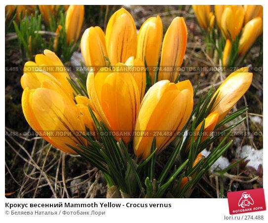 Крокус весенний Mammoth Yellow - Crocus vernus, фото № 274488, снято 5 мая 2007 г. (c) Беляева Наталья / Фотобанк Лори