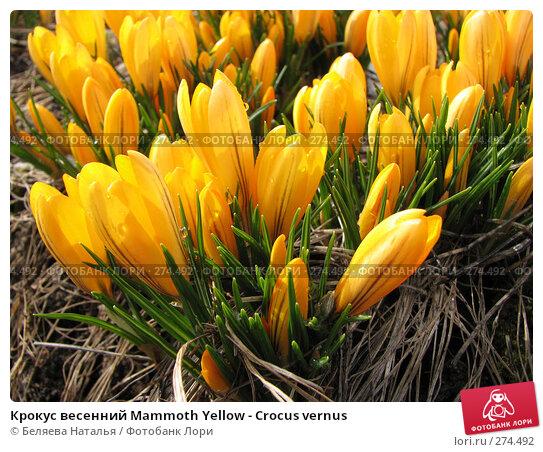 Купить «Крокус весенний Mammoth Yellow - Crocus vernus», фото № 274492, снято 5 мая 2007 г. (c) Беляева Наталья / Фотобанк Лори