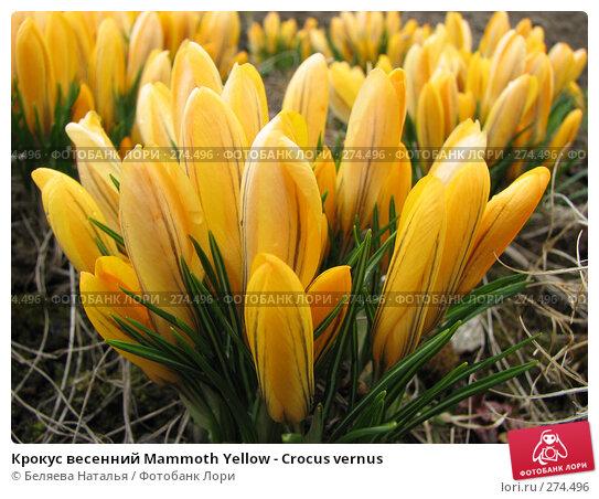 Крокус весенний Mammoth Yellow - Crocus vernus, фото № 274496, снято 9 мая 2007 г. (c) Беляева Наталья / Фотобанк Лори
