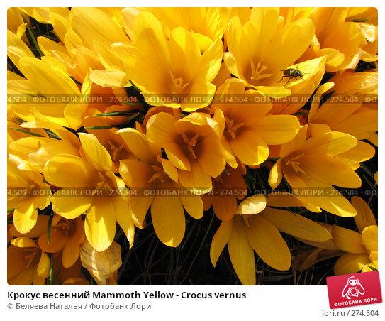 Крокус весенний Mammoth Yellow - Crocus vernus, фото № 274504, снято 12 мая 2007 г. (c) Беляева Наталья / Фотобанк Лори