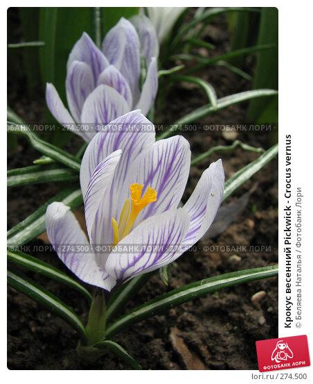 Крокус весенний Pickwick - Crocus vernus, фото № 274500, снято 12 мая 2007 г. (c) Беляева Наталья / Фотобанк Лори