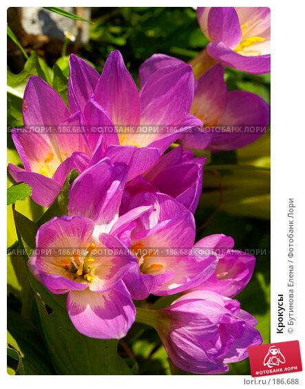 Крокусы, фото № 186688, снято 23 сентября 2007 г. (c) Бутинова Елена / Фотобанк Лори