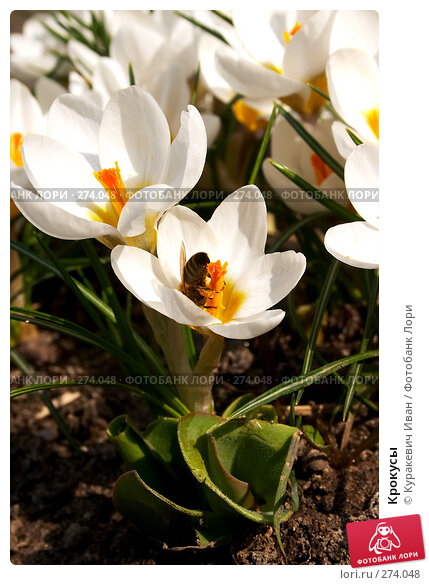 Крокусы, фото № 274048, снято 23 марта 2017 г. (c) Куракевич Иван / Фотобанк Лори