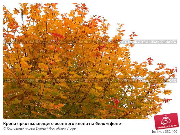 Крона ярко пылающего осеннего клена на белом фоне, фото № 332400, снято 1 октября 2006 г. (c) Солодовникова Елена / Фотобанк Лори