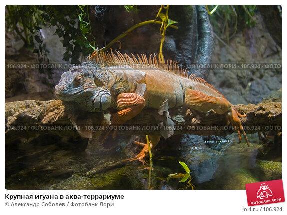 Крупная игуана в аква-террариуме, фото № 106924, снято 25 августа 2007 г. (c) Александр Соболев / Фотобанк Лори