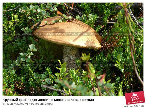 Крупный гриб подосиновик в можжевеловых ветках, фото № 182120, снято 9 августа 2007 г. (c) Иван Мацкевич / Фотобанк Лори