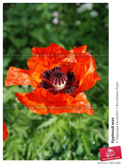 Купить «Крупный мак», фото № 253344, снято 1 июня 2007 г. (c) Надежда Келембет / Фотобанк Лори