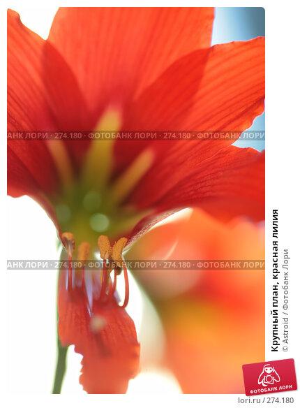 Крупный план, красная лилия, фото № 274180, снято 30 апреля 2008 г. (c) Astroid / Фотобанк Лори