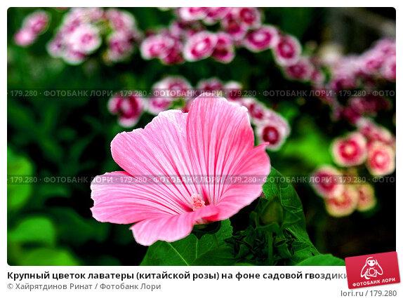 Купить «Крупный цветок лаватеры (китайской розы) на фоне садовой гвоздики», фото № 179280, снято 4 августа 2007 г. (c) Хайрятдинов Ринат / Фотобанк Лори