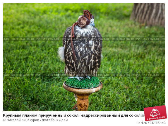 Купить «Крупным планом прирученный сокол, надрессированный для соколиной охоты», фото № 23116140, снято 17 июня 2016 г. (c) Николай Винокуров / Фотобанк Лори
