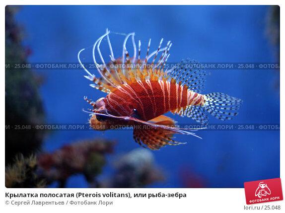 Крылатка полосатая (Pterois volitans), или рыба-зебра, фото № 25048, снято 28 июля 2017 г. (c) Сергей Лаврентьев / Фотобанк Лори