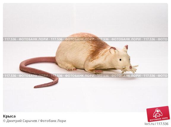Крыса, фото № 117536, снято 4 июня 2007 г. (c) Дмитрий Сарычев / Фотобанк Лори