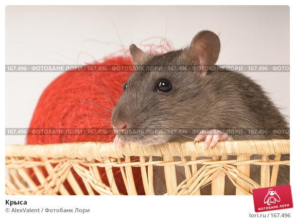 Крыса, фото № 167496, снято 27 ноября 2007 г. (c) AlexValent / Фотобанк Лори