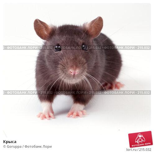 Крыса, фото № 215032, снято 19 октября 2007 г. (c) Goruppa / Фотобанк Лори