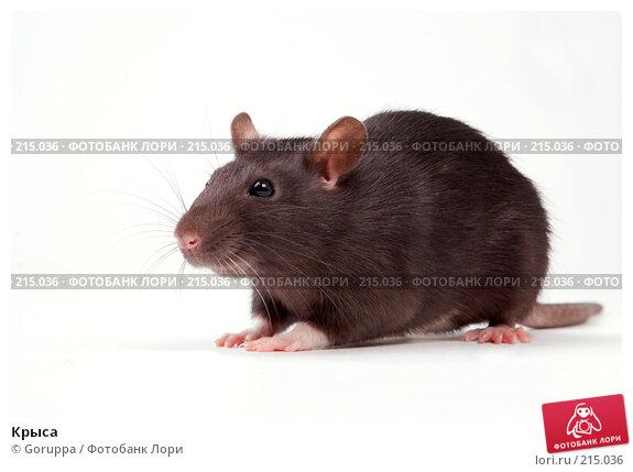 Крыса, фото № 215036, снято 19 октября 2007 г. (c) Goruppa / Фотобанк Лори