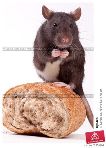 Купить «Крыса», фото № 215044, снято 19 октября 2007 г. (c) Goruppa / Фотобанк Лори