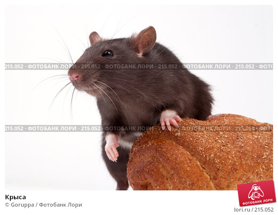Крыса, фото № 215052, снято 19 октября 2007 г. (c) Goruppa / Фотобанк Лори