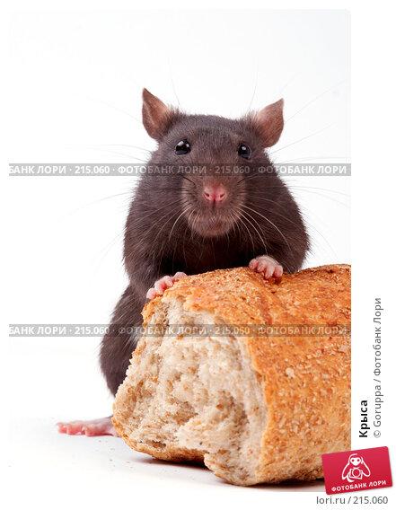 Крыса, фото № 215060, снято 19 октября 2007 г. (c) Goruppa / Фотобанк Лори