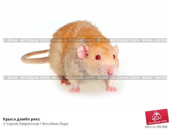 Крыса дамбо рекс, фото № 89044, снято 23 сентября 2007 г. (c) Сергей Лаврентьев / Фотобанк Лори