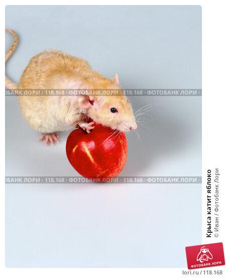 Крыса катит яблоко, фото № 118168, снято 23 сентября 2007 г. (c) Иван / Фотобанк Лори