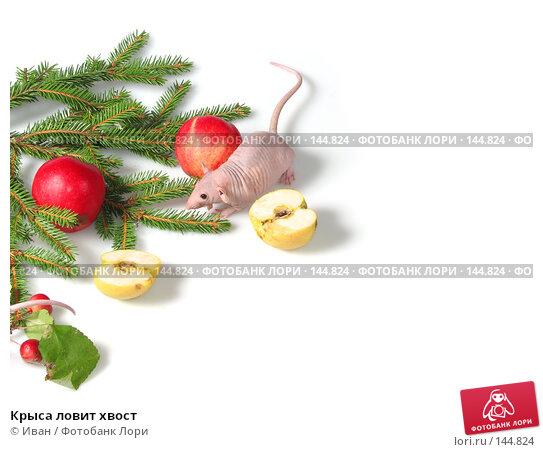 Крыса ловит хвост, фото № 144824, снято 23 сентября 2007 г. (c) Иван / Фотобанк Лори