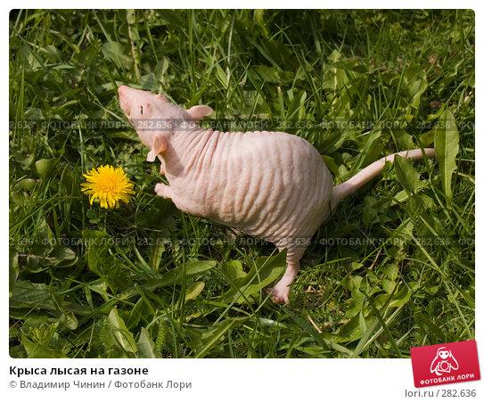 Крыса лысая на газоне, эксклюзивное фото № 282636, снято 9 мая 2008 г. (c) Владимир Чинин / Фотобанк Лори
