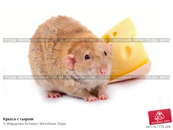 Крыса с сыром, фото № 173224, снято 29 ноября 2007 г. (c) Фёдорова Эллина / Фотобанк Лори