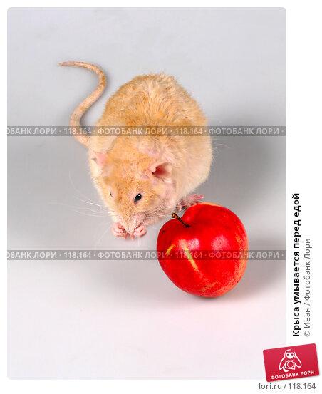Крыса умывается перед едой, фото № 118164, снято 23 сентября 2007 г. (c) Иван / Фотобанк Лори