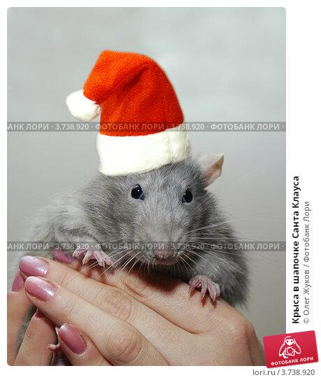 Крыса в шапочке Санта Клауса. Стоковое фото, фотограф Олег Жуков / Фотобанк Лори