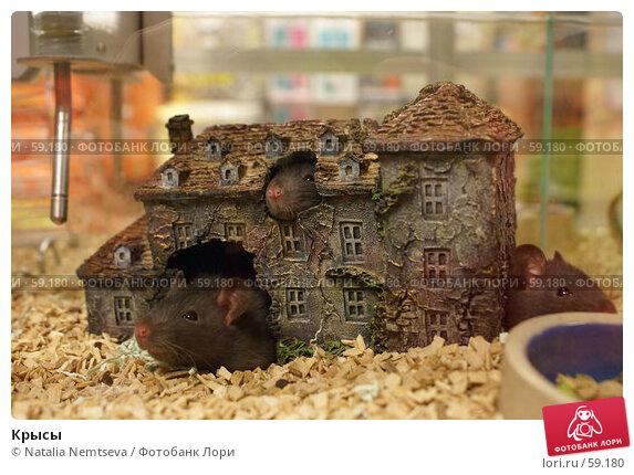 Крысы, эксклюзивное фото № 59180, снято 19 апреля 2007 г. (c) Natalia Nemtseva / Фотобанк Лори