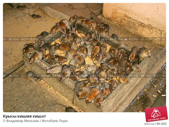 Крысы кишмя кишат, фото № 86004, снято 3 марта 2004 г. (c) Владимир Мельник / Фотобанк Лори