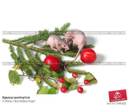Крысы шепчутся, фото № 144832, снято 23 сентября 2007 г. (c) Иван / Фотобанк Лори