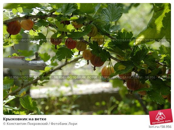 Купить «Крыжовник на ветке», фото № 58956, снято 1 июля 2007 г. (c) Константин Покровский / Фотобанк Лори