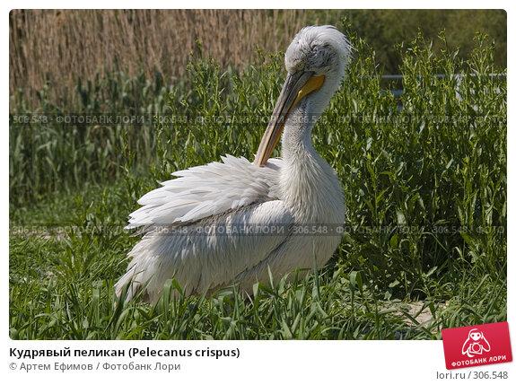 Кудрявый пеликан (Pelecanus crispus), фото № 306548, снято 4 мая 2008 г. (c) Артем Ефимов / Фотобанк Лори