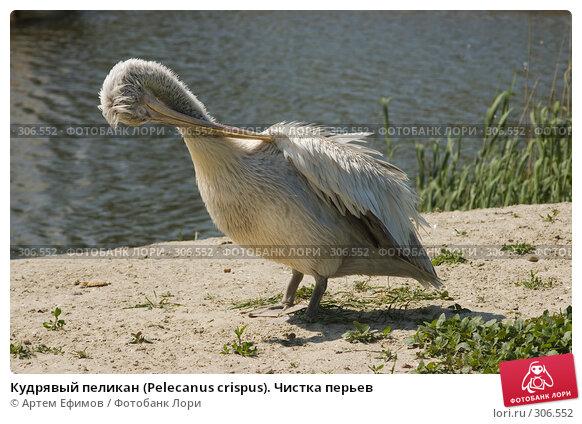 Кудрявый пеликан (Pelecanus crispus). Чистка перьев, фото № 306552, снято 4 мая 2008 г. (c) Артем Ефимов / Фотобанк Лори