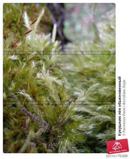Кукушкин лён обыкновенный, фото № 70600, снято 28 октября 2006 г. (c) Parmenov Pavel / Фотобанк Лори