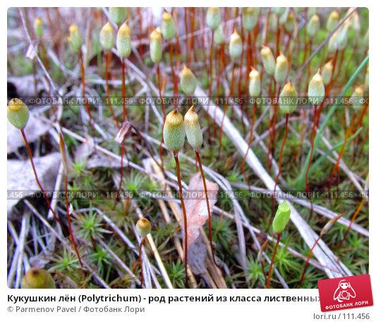 Купить «Кукушкин лён (Polytrichum) - род растений из класса лиственных мхов», фото № 111456, снято 30 апреля 2007 г. (c) Parmenov Pavel / Фотобанк Лори
