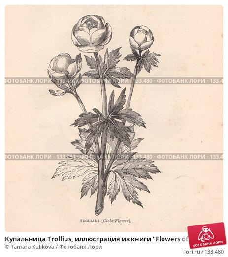 """Купальница Trollius, иллюстрация из книги """"Flowers of the field"""", издано в Лондоне в 1888, иллюстрация № 133480 (c) Tamara Kulikova / Фотобанк Лори"""