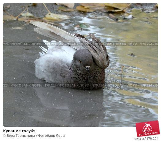 Купание голубя, фото № 179224, снято 29 апреля 2017 г. (c) Вера Тропынина / Фотобанк Лори