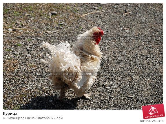 Курица, фото № 240316, снято 27 марта 2008 г. (c) Лифанцева Елена / Фотобанк Лори