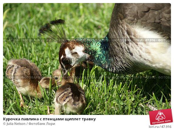 Купить «Курочка павлина с птенцами щиплет травку», фото № 47916, снято 20 мая 2007 г. (c) Julia Nelson / Фотобанк Лори